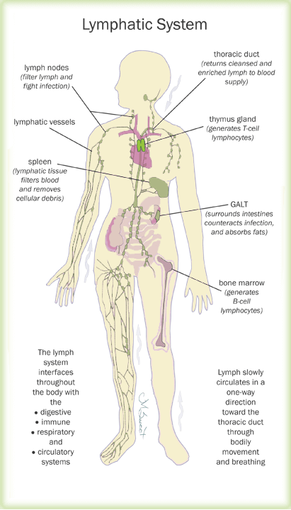 lymphatic system labeled
