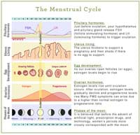 illustration of hormonal ups and downs during the menstrual cycle