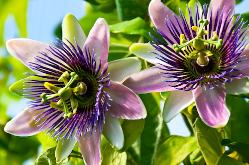Passionflower is one of the best natural supplements for menopause